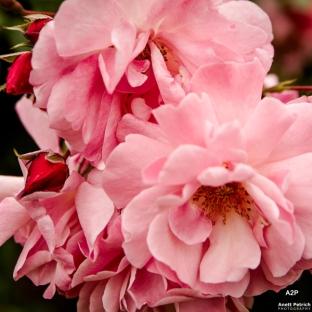rose_usedom_heiraten
